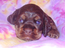 Nikita - chocolate tan cocker puppy - day 21